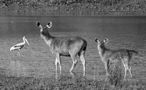 19 - Sambar Deer