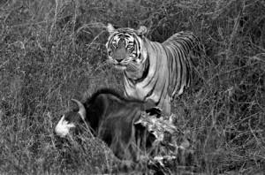 22 - Tigress with Kill