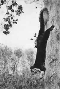 23 - Malabar Squirrel