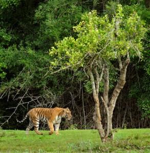 25- Tiger