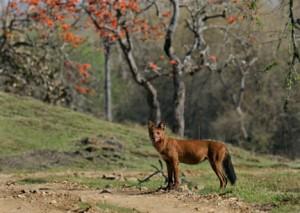 27- Wild Dog