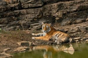 29 - Tiger Basking