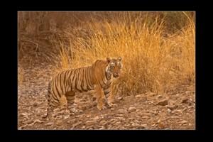 30 - Tiger Nallah