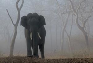 31 - Tusker in Mist
