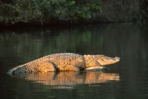 33 - Crocodile
