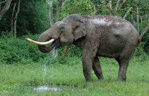 35 - Tusker Drinking Water