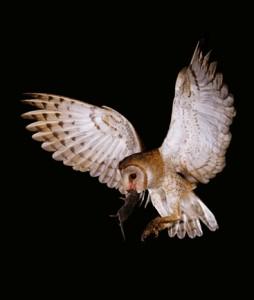37 - Barn Owl