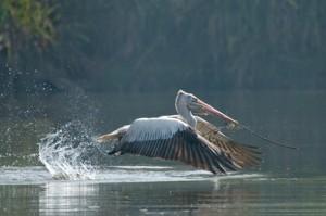 40 - Pelican