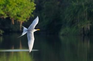 42 - River Tern in Flight