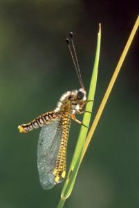 46 - Owlfly