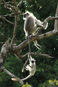 47 - Langur and baby