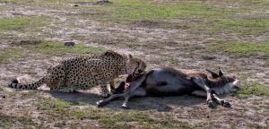 Cheetah with Wildebeest kill