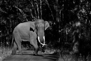 Elephant at BR HIlls