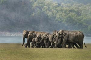 Elephants - Corbett