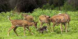 Spotted Deer Family with  Fawn