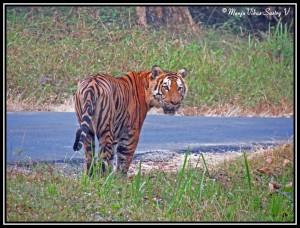Tiger at Nagarahoe