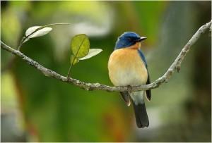 Tickels Blue Flycatcher