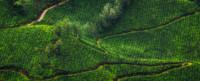 tea-estates-of-munnar