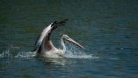 playful-pelican
