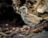 pranticole-chick