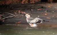 crested-hawk-morning-dip