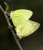 commom-emigrant-mating