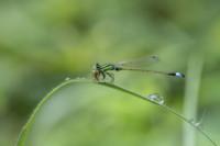 damsel-fly-with-kill
