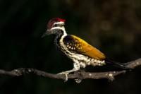 flamebacked-woodpecker