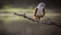 brahmini-eagle