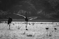 dancing-sarus-cranes