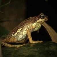 malabar-tree-toad